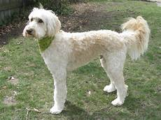types of goldendoodle haircuts google search diy pin on floor plans i like ish