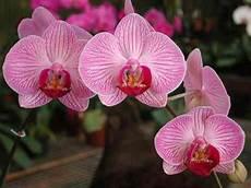immagini fiori orchidee come piantare le orchidee notizie it