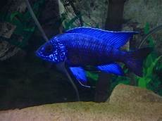 what of peacock cichlid is this everyone seems to