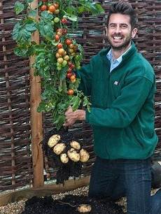 kartoffel tomaten pflanze michael perry of thompson and holding a tomtato plant