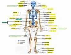 Rangka Manusia Belajar Sains Sd Yuukk