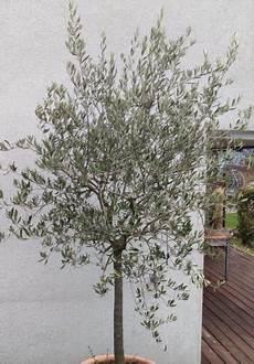 olivenbaum schneiden schritt f 252 r schritt schneide anleitung