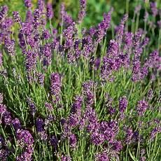 Lavender Munstead Plants Thompson