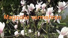 magnolie vermehren durch absenken stecklinge abmoosen oder
