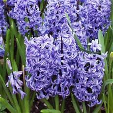 giacinto fiore fiori di giacinto