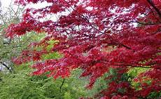 erable japon erable du japon acer palmatum plantation taille