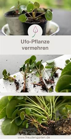 ufopflanze pilea peperomioides vermehren ufopflanze