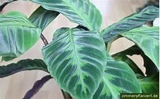 pflanze blätter rollen sich ein calathea pflege und infos zu den arten