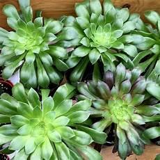 plante grasse plantes grasses succulentes jardin dion