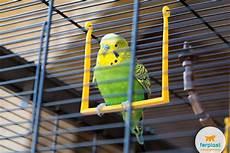 gabbia cocorite come allevare le cocorite accessori e migliori gabbie