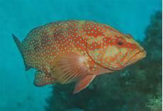Dunia Mancing Tehnik Memancing Dan Umpan Jitu Ikan Kerapu