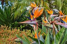 uccelli paradiso fiore uccelli tropicali dei fiori di paradiso immagine stock