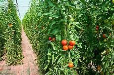 tomaten im gew 228 chshaus