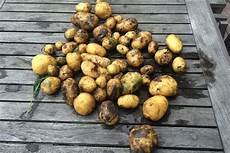 wann und wie kartoffeln pflanzen nutzen sie ihr hochbeet