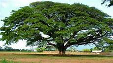 10 Jenis Pohon Peneduh Yang Rindang Dan Bikin Adem