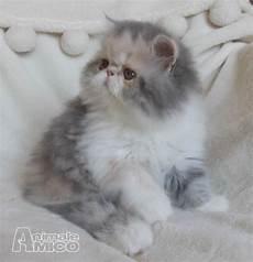 gatti persiani in vendita vendita cucciolo persiano da privato a cuneo cuccioli di