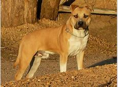 FOR SALE: Pedigree american staffordshire terrier for stud