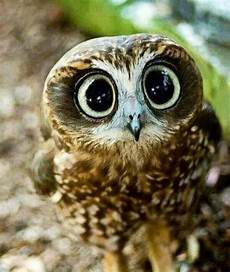 18 Gambar Anak Burung Hantu Yang Sungguh Comel Nama