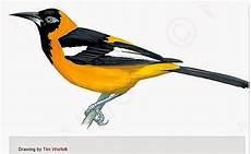 del turpial para dibujar aves de venezuela con historias