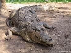 Gambar Gambar Buaya Ganas Dunia Binatang Di Rebanas Rebanas