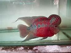 20 Ikan Hias Air Tawar Paling Populer Dipelihara Gambar
