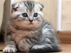10 Jenis Kucing Paling Mahal Di Dunia Kucing Gue