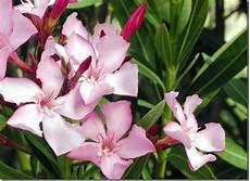 oleander pflege und schnitt nerium oleander