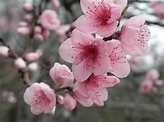 fleur de cerisier dessin japanese cherry blossom scent review destination reviews