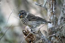 charles darwin s finches could soon be extinct