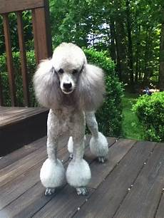 cabryn chagall in his miami trim standard poodle haircuts poodle poodle haircut