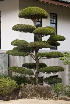 Zen Garten Deko - small manicured tree at the morikami japanese garden