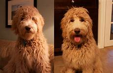 goldendoodle haircut my favorite dog doodle and goldendoodle haircut goldendoodle haircuts goldendoodle goldendoodle grooming