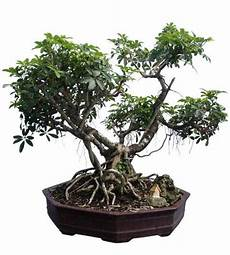 101 Best Images About Buy Bonsai Trees Buy Unique