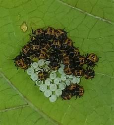 insekt an fauligem obst welches insekt ist das insekten bohnen