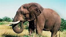 Malvorlage Afrikanischer Elefant Afrikanischer Elefant Vom Aussterben Bedroht Tiere