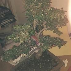 Bonsai Baum Pflege Braune Bl 228 Tter