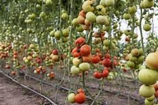 come seminare i pomodori in vaso tomato farming information guide asia farming