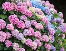 tailler les hortensias photos hortensia plantation et entretien pour une floraison
