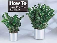 How To Care For The Zz Plant Zamioculcas Zamiifolia