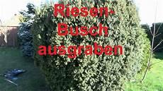 gro 223 en busch ausgraben baumst 252 mpfe eibe hecke baum