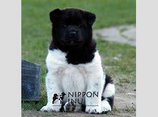 Zoekt U Een (American)Akita(Inu), Shiba(Inu) Of Kishu Pup