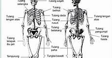 Struktur Dan Fungsi Rangka Manusia Dan Hewan