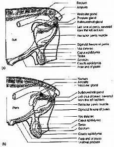 My In The World Anatomi Organ Reproduksi Jantan