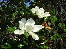 magnolia fiore magnolia grandiflora