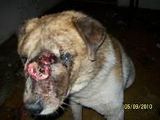tumeur derrière l oeil aide pour soigner un chien 224 braila tumeur faciale 233 norme