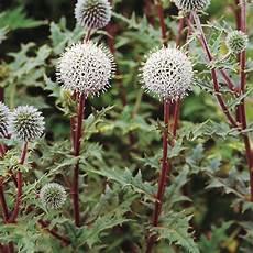 plantes par correspondance echinops sphaerocephalus arctic glow plante vivace