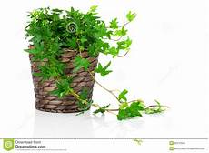 edera in vaso edera verde hedera helix in vaso fotografia stock