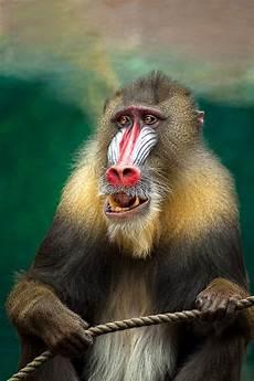 21 Gambar Lucu Monyet Richi Wallpaper