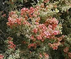 arbustes à fleurs rouges atriplex la la enciclopedia libre