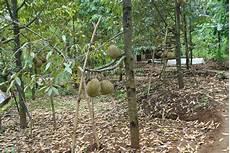 Bibit Tanaman Buah Majalengka Bibit Durian Monthong